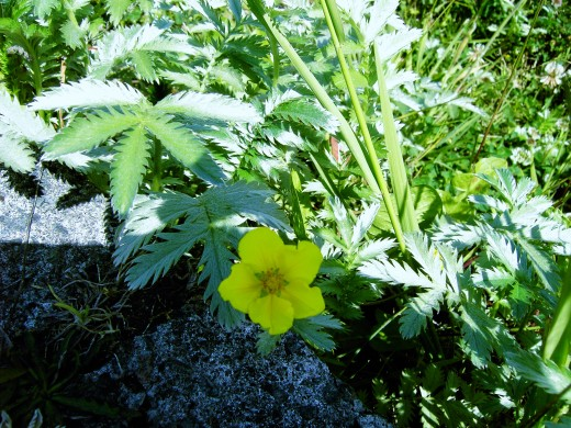 The flowers are yellow and attractive.  Photograph by D.A.L.
