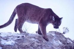 Cougar Wild