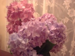 Hydrangea Macrophylla - a Science Project in Bloom: How Soil Affects Color
