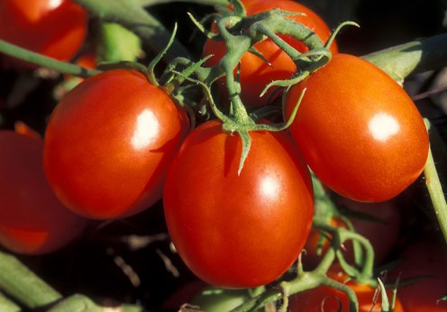 Tomatoes on their vine