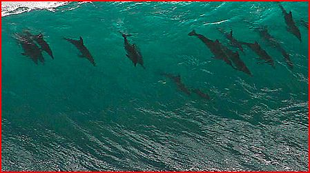 Dolphins riding a wave.