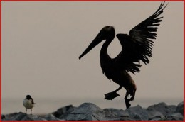 A pelican attempting to fly. Numbers of dead, unknown. Rescuers do their best.