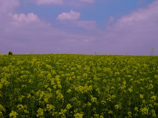 The golden flowers of oil seed rape add to the quilt work of colours.Photograph by D.A.L.