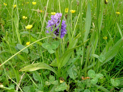 Orchids are numerous in the meadows these are the queens of grassland flora.Photograph by D.A.L.