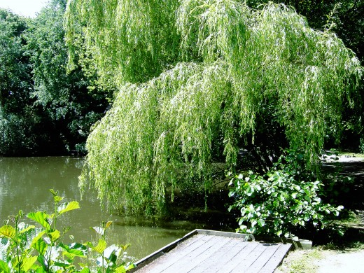 The weeping willow caresses the water's surface. Photograph by D.A.L.
