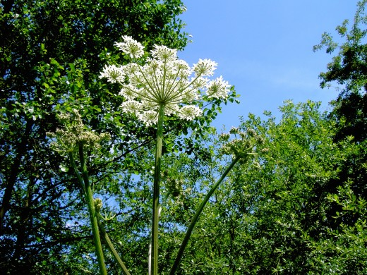 Flowers of the common hogweed these are the thugs of the plant world. Photograph by D.A.L.