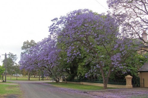 acaranda Tree -Mimosa House Pages Rd. St Marys NSW