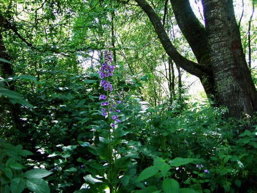 Foxglove flowering in the heart of the woodland. Photograph by D.A.L.