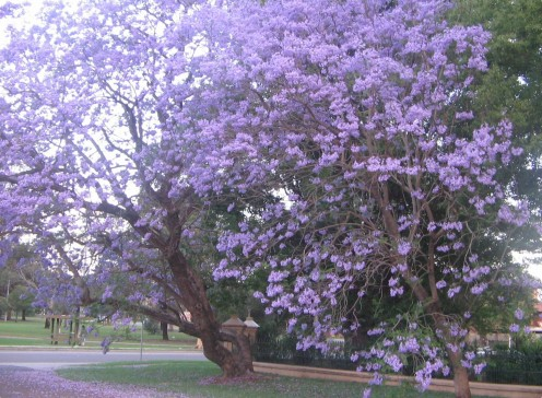 Jacaranda Tree -Mimosa House Pages Rd. St Marys NSW