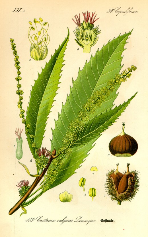 components of the sweet chestnut