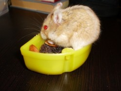 """The little lady you see on this page is """"Butterscotch"""". She was named that due to her color. She has been the most docile and has the most laid back demeanor of any dwarf I've owned. Butterscotch seems to stay on an even keel as far as her mood."""
