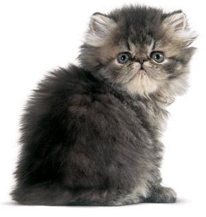 Persian cat (Google images)