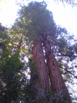 Muir Woods National Monument - one of many places to see coast redwoods.