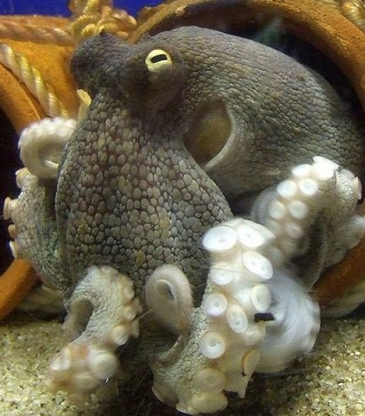 The octopus is a mollusc of great complexity. Its body plan is versatile and is one of the most intelligent of the invertebrates.