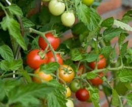 Biodynamic grown tomatoes