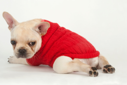 Choosing the right size apparel for your pup will make sure they are comfortable and can move around easily.