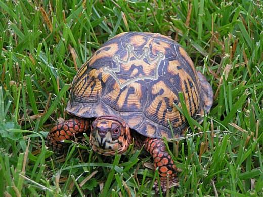 Top-knotch fashion sense is demonstrated by backyard turtle.