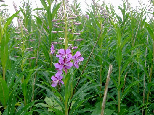 The beautiful flowers of the rose bay willow herb. Photograph by D.A.L.