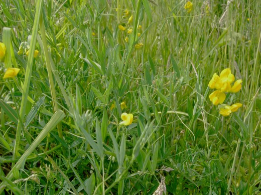 The yellow flowers of the meadow vetchling. Photograph by D.A.L.