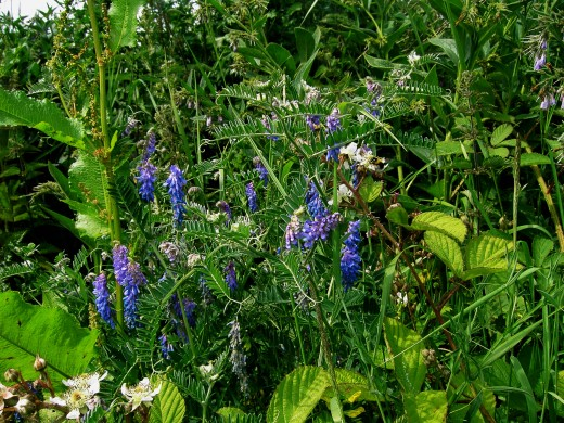 The blue flowers of the tufted vetch are conspicuou. Photograph by D.A.L.