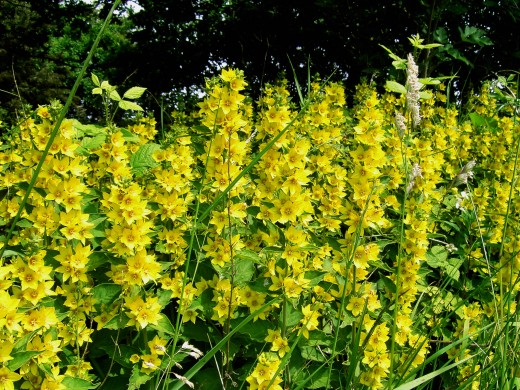 Yellow loosestrife  is impressive where established. Photograph by D.A.L.