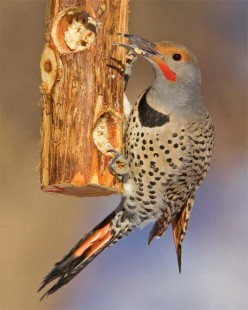 The Northern Flicker Bird: Creator of Homes for Other Animals