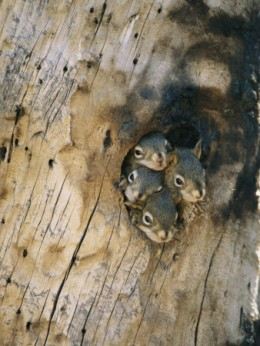 "This litter of baby squirrels is living in a ""home"" dredged out by a nearby Flicker. photo courtesy of Postersguide.com."