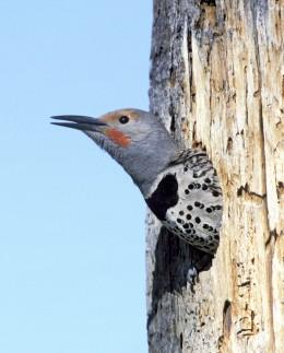 Photo courtesy of audubon society.  Flicker peeking out from its hole.