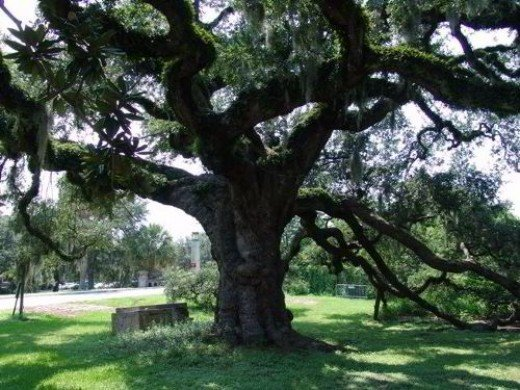 The only one of the original Dueling Oaks remaining...the second tree was lost in the 1940's.