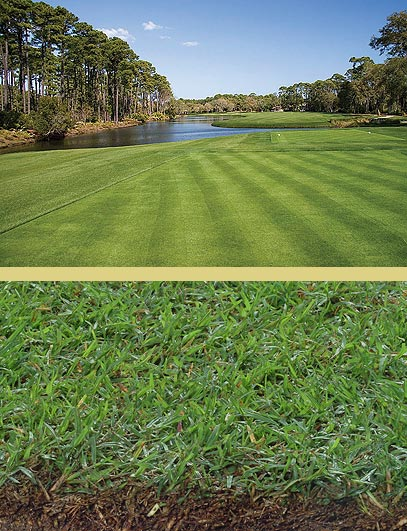 Bermuda grass is the grass of choice for most golf courses due to it's resilience to pests and harsh weather
