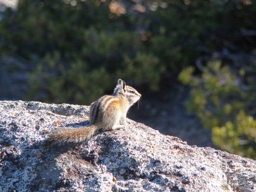 Chipmunk at Yosemite.