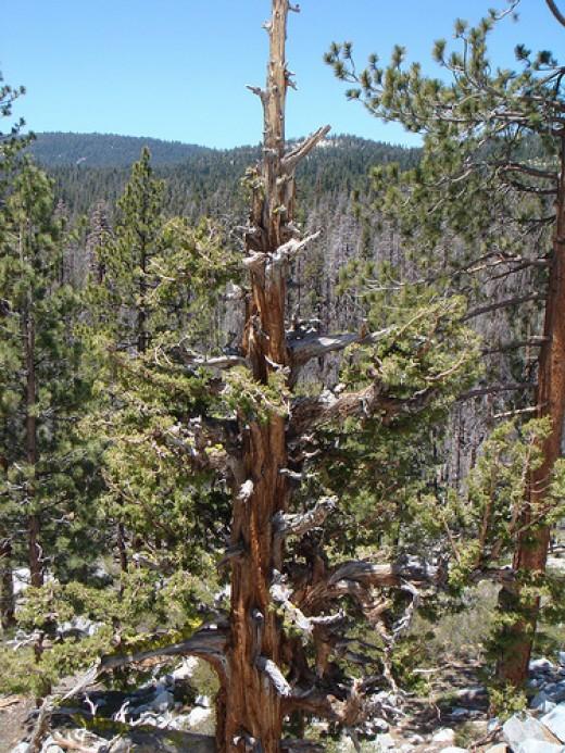 Yosemite Pine trees.