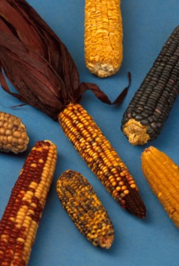 Maize or corn, is the chief ingredient in Ugali