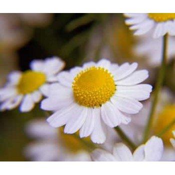 Roman Chamomile daisy like flowers