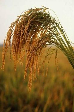 Creole Rice Calas