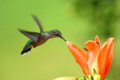 Hummingbird and flower  (www.simplescapes.net)