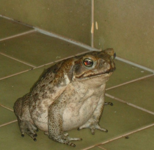 A Handsome type of toad
