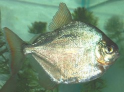 A Vegetarian Piranha   Silver Dollar Fish