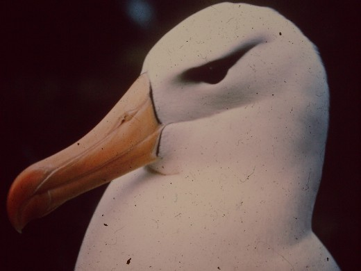The writer spent a year on the sub-Antarctic Island of MacQuarie 1976-77.  Here and below are some picutes of the birdlife