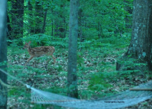 A fawn scampers off before I can make the photo I want. Oh, well. It was nice to see.