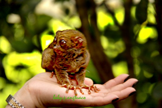 A tarsier on the palm of a tourist