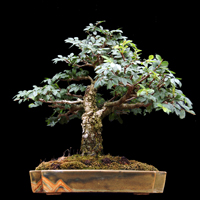 Bonsai reflects the power of the simplicity in nature, that is further crafted and shaped over time skillfully and emphasises the growing beauty of a stunted tree.