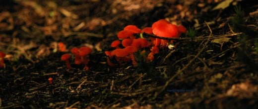 These mushrooms glowed a neon red under a stand of hemlocks.