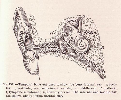 Ear Anatomy photo: perpetualplum