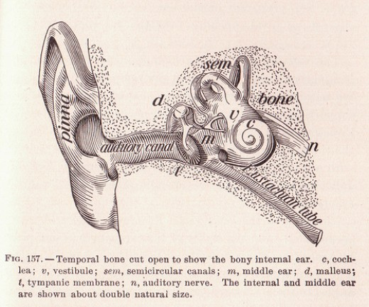 Ear Anatomy photo: perpetualplum