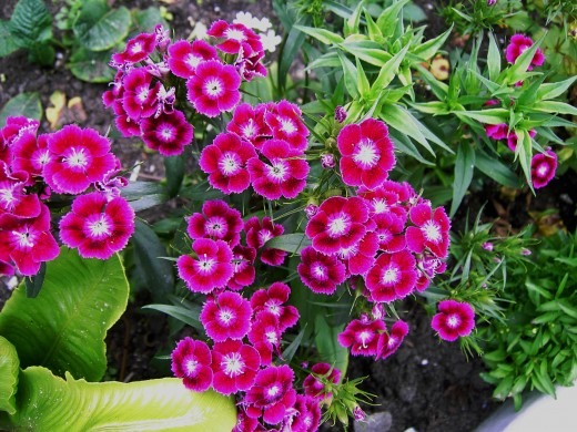 Sweet William is an example of this family loved by gardeners. Photograph by D.A.L.