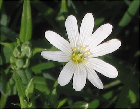 The conspicuous flowers of the greater stitchwort with their star like petals.Photograph courtesy of Grote Muur