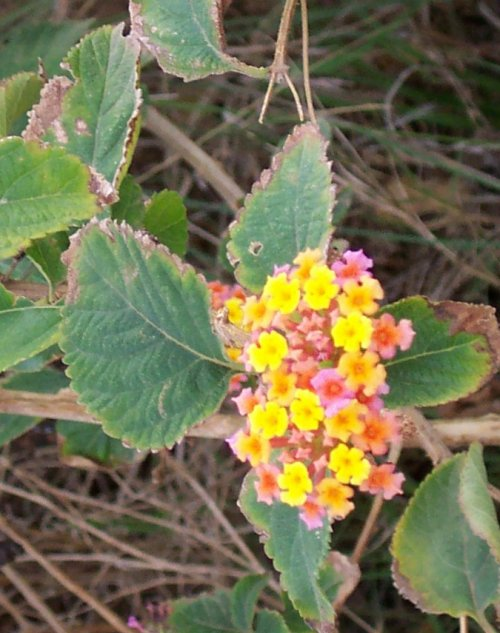 Lantana or Tick Berry