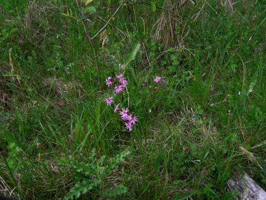 The ragged robin is a pleasing little plant. Photograph by D.A.L.