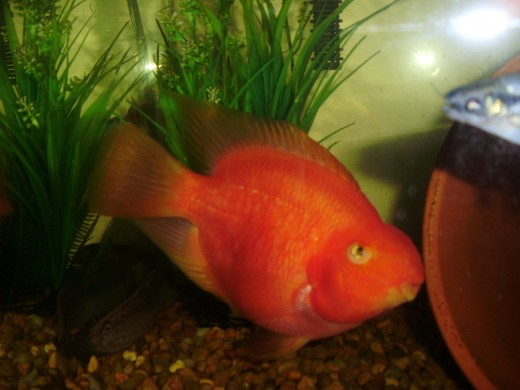 My male Parrot Cichlid